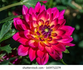 Dahlias red flower, flower gorgeous, hot pink with buttery yellow stripes. Pinkie dahlia.