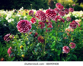 Dahlias with red-white variegated petals in cultivated field in summer