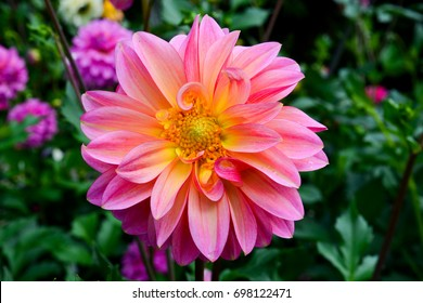 dahlias in several colors with bees, which are pollenizing