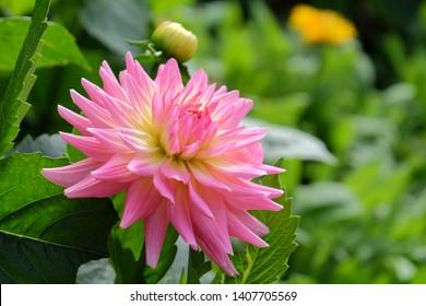 Dahlie Flower Pink wallpaper background