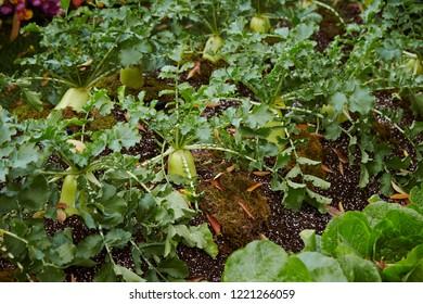 Daikon radish plantation