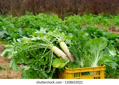 Daikon radix harvested in the field