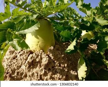 daikon in soil