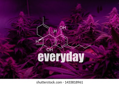 daily use of recreational marijuana for patients