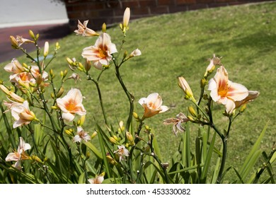Dainty  amber  and cream  daylily flowering plant in the genus Hemerocallis blooming in early spring  is a beautiful  ornamental addition to the garden land scape.