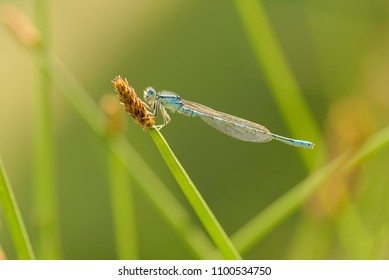 The Dainty damselfly-Coenagrion scitulum, also known as the dainty bluet, is a blue damselfly of the family Coenagrionidae, are Odonata (dragonflies & damselflies) predators.