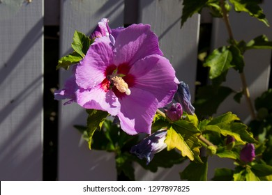 Lilac Hibiscus Images Stock Photos Vectors Shutterstock
