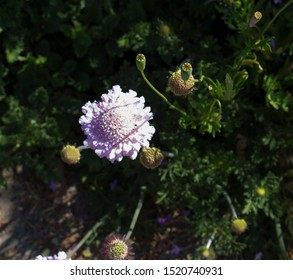 Dainty mauve Scabiosa columbaria - a genus in the honeysuckle family (Caprifoliaceae) Pigeon scabious, Pincushion flower, Small scabious, Dove pincushion ,flowering in spring is a delightful plant.