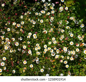 Dainty pink and white Swan River Daisies Brachyscome a genus of flowering plants in the aster family, Asteraceae endemic to Australia, blooming in spring are hardy and decorative ground cover  plants.