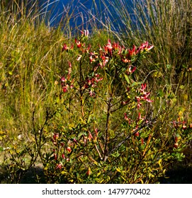 Dainty red flowers of Western Australian wildflower Templetonia retusa Cockies' Tongues a shrub  to 2 metres in height blooming in Big Swamp, Bunbury Western Australia in winter and spring.