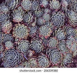 Dainty succulents with thick skin or protective coating that actually seals in moisture and minimizes evaporation create delightful textured  garden plants for dry situations.