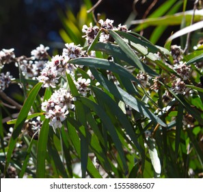 Dainty white flowers of West Australian native  peppermint Willow myrtle (Agonis flexuosa) in spring add graceful charm to the gardens and parks with their weeping habit attracting birds and bees.