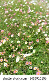 Dainty White and Pink Ground Cover Flowers