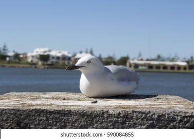 A dainty white  seagull seabird of the family Laridae in  sub-order Lari standing on the stonework pillar near Leschenault  Estuary  Bunbury Western Australia on a  sunny  afternoon in early autumn .