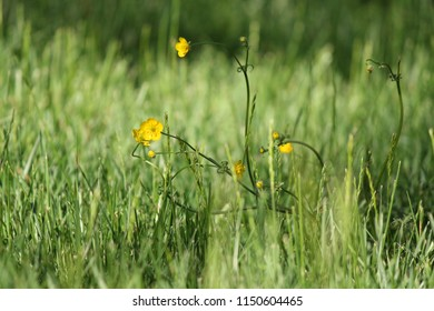 Tall yellow flowers images stock photos vectors shutterstock dainty yellow flowers stand out in tall green grass mightylinksfo
