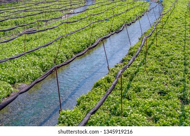 Daio Wasabi Farm and flow of the waterway in Nagano Prefecture, Japan.