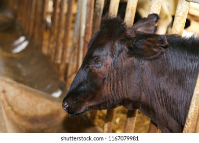 Dairy calf sickness. Diseases of young dairy calves. Dairy cattle health and welfare.