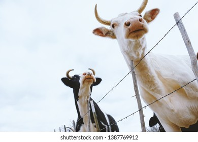 Dairy cattle on fence looking away, shows Holstein steer and white cow with horns.  Agriculture industry concept.