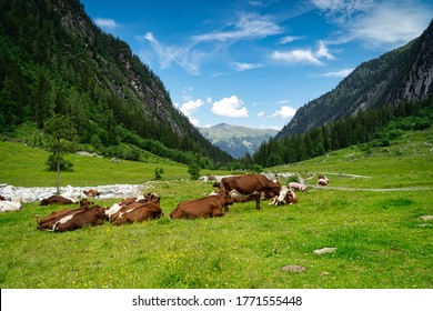 Dairy Cattle On Pasture, mountain cow resting on meadow