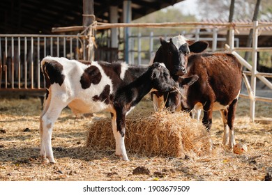 Dairy cattle raised in cattle ranch
