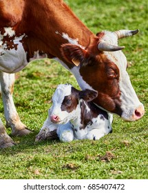 Dairy cow and calf close up