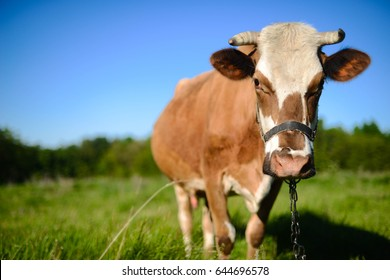 Dairy cow at countryside, beautiful sky in the background.  A curious dairy cow stands in her pasture. Dairy Cow. cow at summer green field