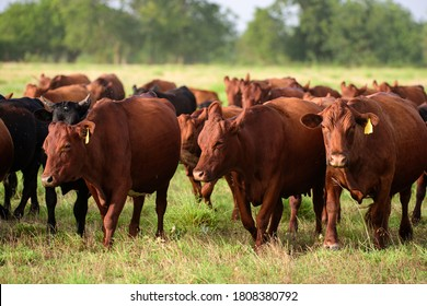 Dairy cow grazing in a field. Herd of cows grazing in a pasture in summer. Cattle farming, breeding, milk and meat production concept. Cows on a summer pasture