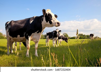 Dairy cow herd in a meadow in spring.