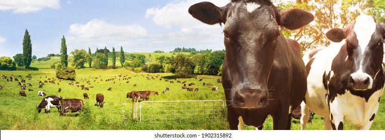 Dairy cow and herd standing feeding in grass farm paddock or meadow at sunrise high resolution banner