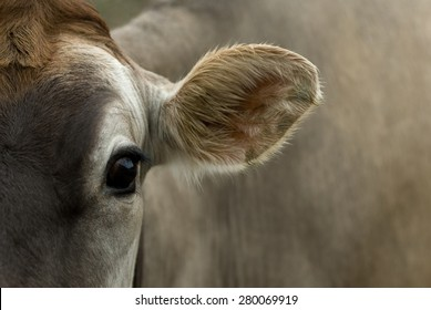 A dairy cow looks into the camera.