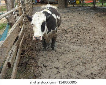 a dairy cow is standing in slurry pen