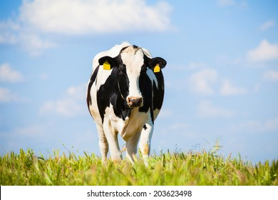 Dairy cow walking by a green meadow, with a blue sky in the background.