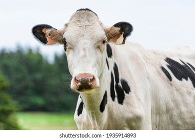Dairy cows in the farm pastures