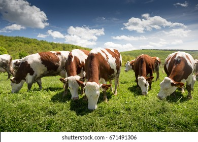 Dairy cows graze green grass in the spring