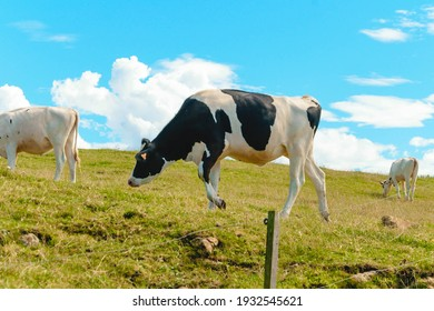 Dairy cows grazing next to the Cantabrian Sea (Spain)