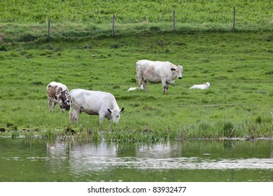 Dairy cows grazing at the water edge
