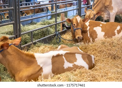 Dairy cows laying in a bed of straw at an indoor barn for a livestock competition