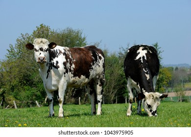 dairy cows of Norman breed at pasture