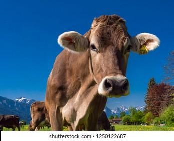 Dairy cows on a mountain pasture near Bayerniederhofen, Allgaeu, Bavaria, Germany, Europe