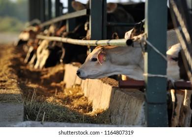 dairy farm cow