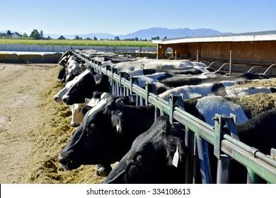 Dairy Farm Cow Herd