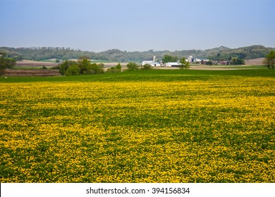 Dairy farm surrounded by dandelion covered green fields