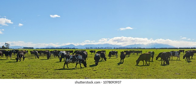 Dairy Farming on Canterbury Plains Panorama, New Zealand. Southern Alps in the background.