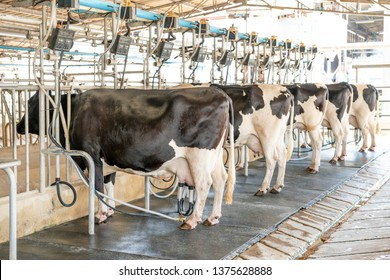 Dairy Modern Cows Farming, Milk Production Industry stock photo