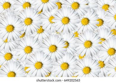Daisies background
