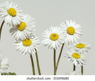 Daisies; Bellis; perennis