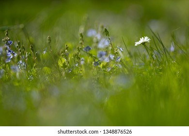 Daisies (Bellis perennis) in the grass - background image for Easter with place for text