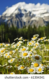 Daisies blooming at Mount Robson Provincial Park, Canada