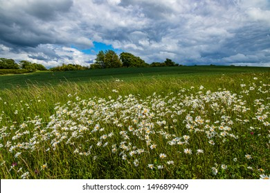 Daisies blowing in the June wind, clouds moving hastily past. Early summer in George Orwell country around Wallington Hertfordshire east England.