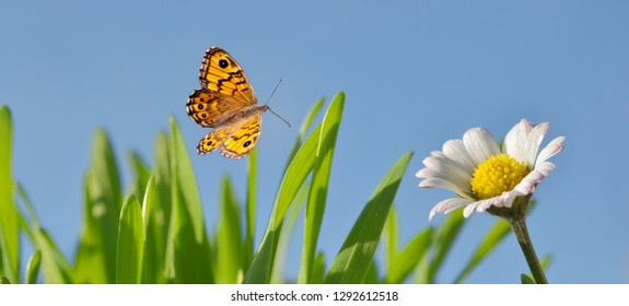 Daisies with butterfly and grass